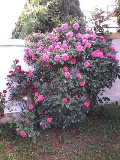 Jedna od ruža u staračkom domu Palma Voždovac